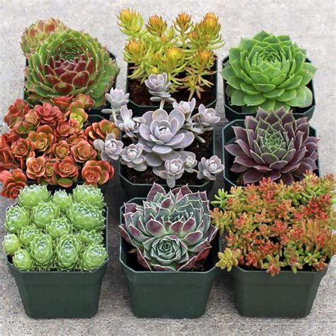 Rock Garden With Potted Plants Rock Garden Hardy Succulent Collection 9 Plants Rock And Gardens