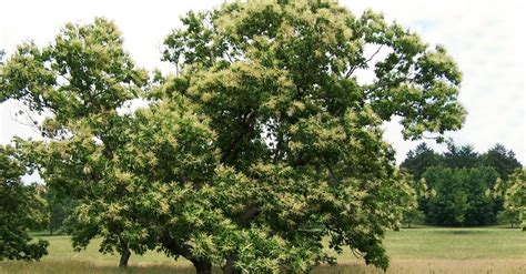 restoring the american chestnut tree in our forests big