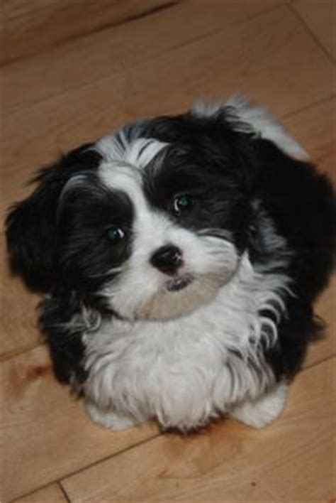 what is a maltese shih tzu mix called 1000 images about dogs on maltese shih tzu maltese dogs and maltese