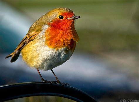 red breast bird