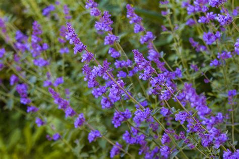 a list of perennial flowers that bloom all summer with