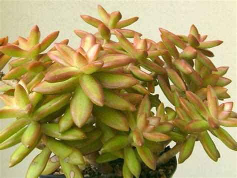 sedum nussbaumerianum coppertone stonecrop world of succulents