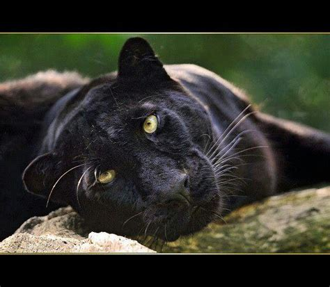 strong  gentle  images panther cat black