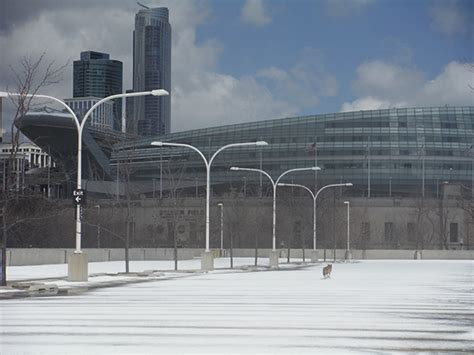 Parking Garage Soldier Field by Tws Researchers Track Metropolitan Coyote Habits The