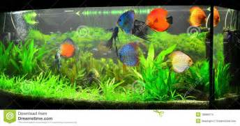 Tropical Fish Home Decor Home Aquarium With Discus Fish And Plants Royalty Free