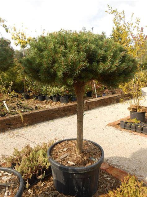 Bor Bonsai bonsai in oblikovane rastline vrtnarstvo 蝣imenc