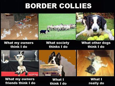 Border Collie Meme - border collie funny memes border collies dogs of the