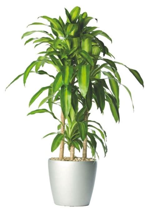low light indoor trees 1000 ideas about indoor plants low light on pinterest