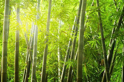 Lukisan Kaligrafi Bambu Yellow Green Bamboo Forest With Of Lights Photograph By Wong Yu Liang