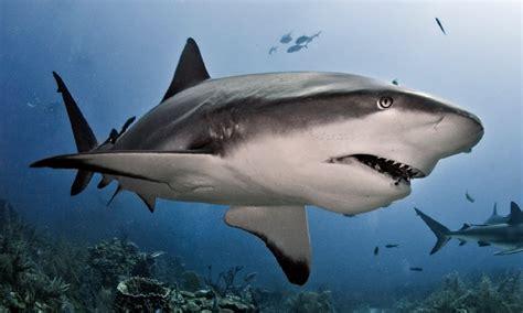 imagenes sorprendentes tiburones taxonom 237 a de los tiburones