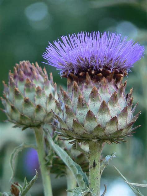 fiore carciofo fiore carciofo fotografia stock immagine di