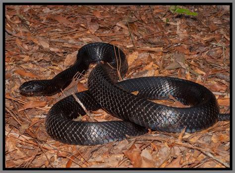 florida backyard snakes eastern indigo snake florida backyard snakes