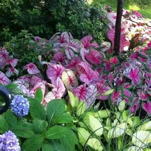 hydrangeas hostas caladiums backyard pinterest to