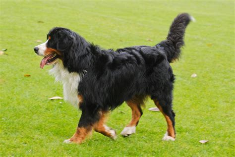 pictures of bernese mountain dogs bernese mountain pictures wallpapers9