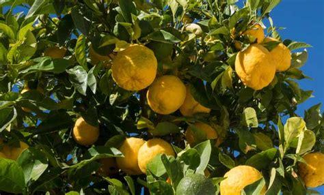 pianta di limoni in vaso limoni in vaso come curarli tutti i segreti leitv