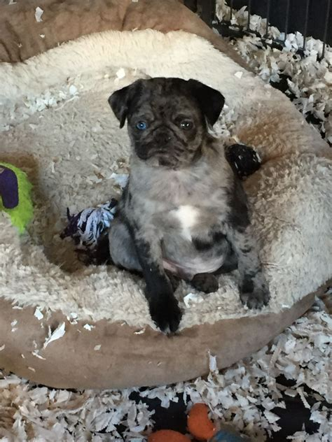merle pug puppies for sale reduced one merle boy pug for sale uckfield east sussex pets4homes