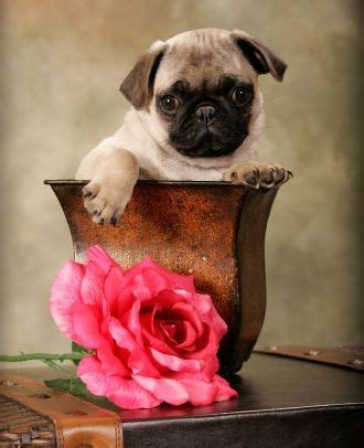 words ending with pug 2088 best images about sweet puggies on pug pug and black pug
