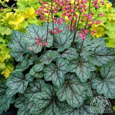 plant profile  heuchera peppermint spice fancy leaf