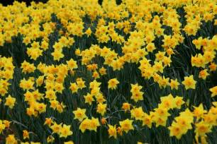 The Flower Daffodil - file field yellow daffodil flowers west virginia