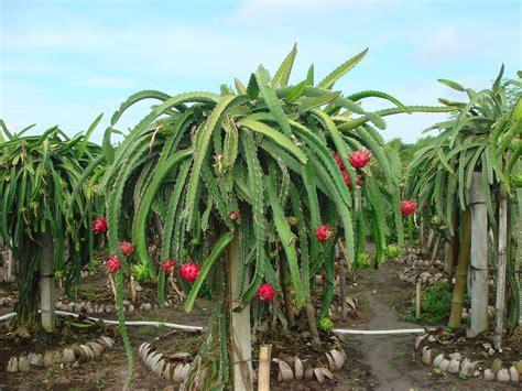 Bibit Buah Naga Di Jawa Timur 6 destinasi petik buah naga di pulau jawa traveling yuk