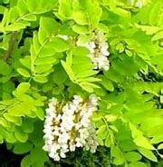 robinia pseudoacacia frisia false acacia care plant
