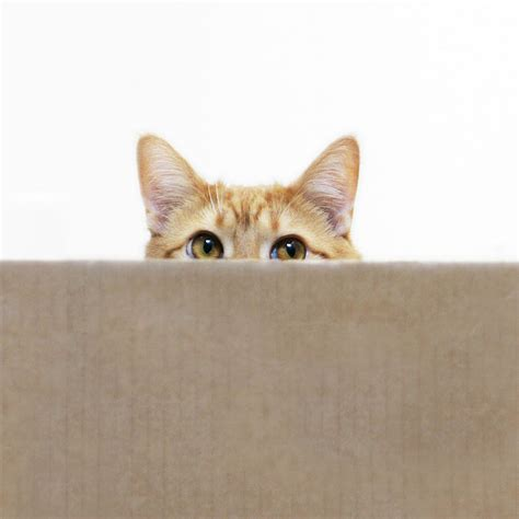 Cat Out Of by Orange Cat Peeping Out From Cardboard Box Photograph By