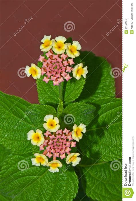 imagenes de flores verbenas flores do verbena fotos de stock imagem 20337503