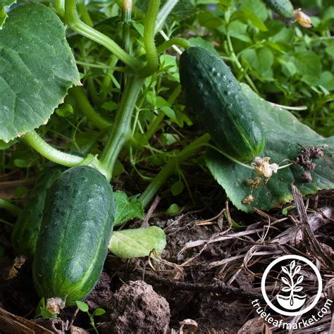 cucumber seeds mountain valley seed co cucumber spacemaster 80 tl