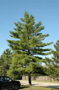 Flowers Eden Prairie Mn - white pine pinus strobus in minneapolis st paul twin