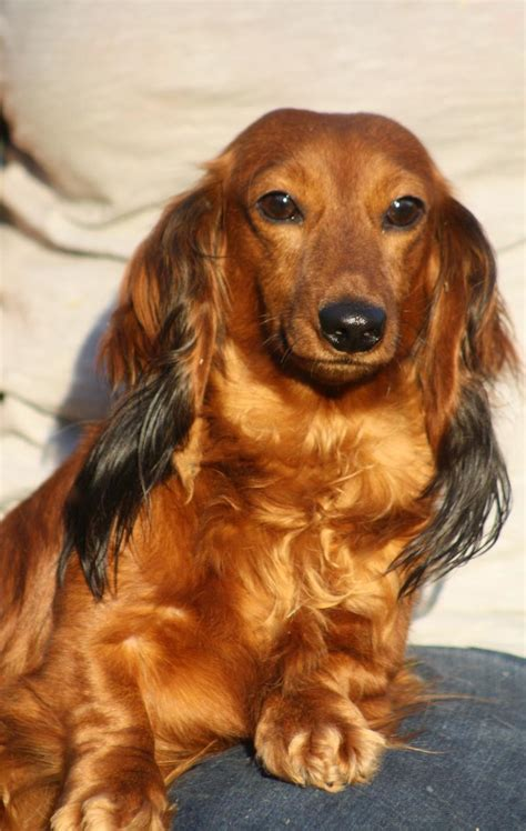 dachshund puppies nc dachshund puppies for sale in nc