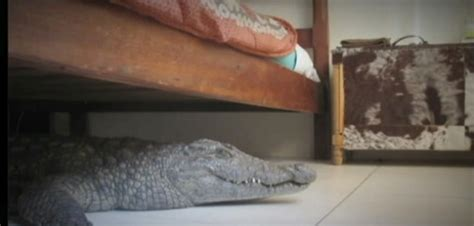 alligator bedding crocodile found under hotel bed photos tourist meets
