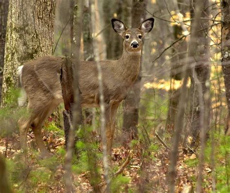 Background Check Maine In Northern Maine Deer Herd Shrinks Despite Efforts To Rebuild It The Portland