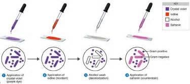 what color does gram positive bacteria stain gram staining procedure mechanism explanation