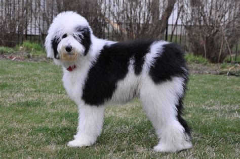 sheep doodle sheepadoodle pictures to pin on pinsdaddy