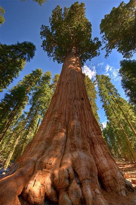 general sherman tree sequoia national park in california american national parks general sherman sequoia