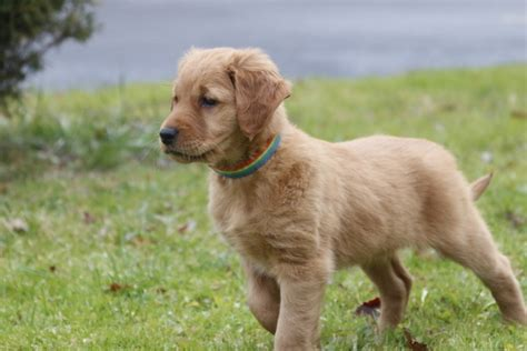 golden retriever sounds wynwood golden retrievers golden puppies breeders hastings michigan