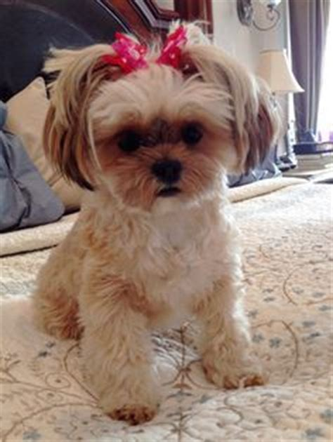 pictures of shorkie dogs with long hair shorkie puppies shorkie shorkie puppies for sale shorkie