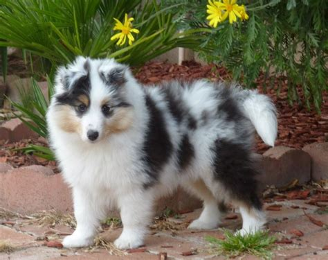 merle puppies blue merle sheltie puppy www imgkid the image kid