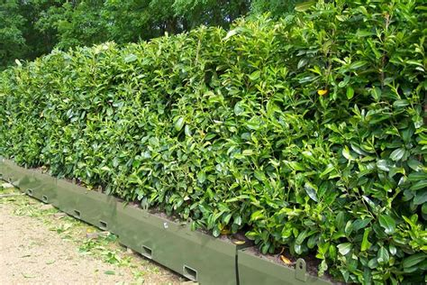 costo siepi da giardino costo siepe giardino siepi costo siepe