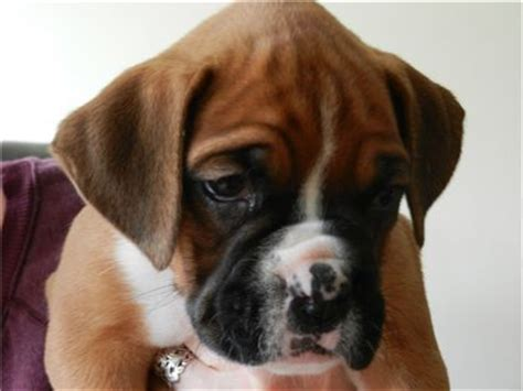 free boxer puppies in pa beautiful boxer puppies for sale 2girl 3boys for sale adoption from philadelphia