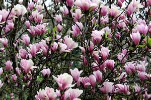 matelic image names of pink flowering trees