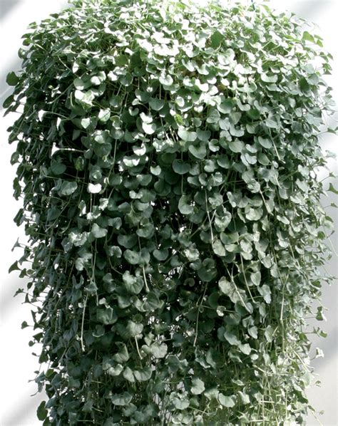 houseplant vine silver falls dichondra hybrid proven winners