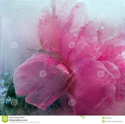 Frozen Pink Flower frozen pink peony flower royalty free stock photos image