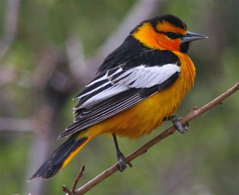 bullocks oriole loves the birds pinterest