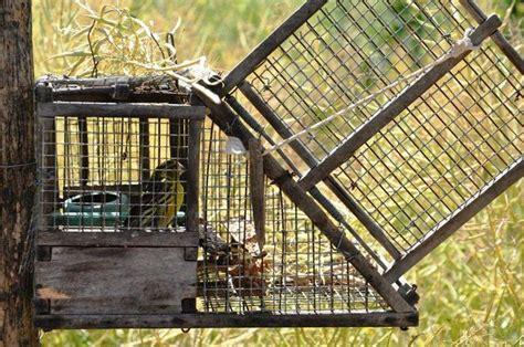 gabbia trappola per uccelli trappole per catturare uccelli denuncia calabria ansa it