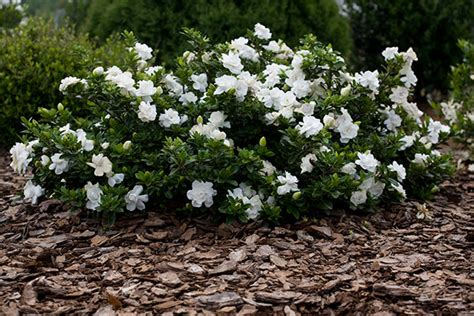 Gardenia House Plant Buy Gardenia Gardenia Crown Pbr Delivery By Crocus