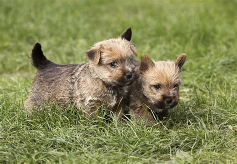 norwich terrier puppies for sale norwich terrier puppies for sale akc puppyfinder