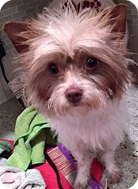 puppies for adoption omaha ne lola pending adoption adopted omaha ne yorkie terrier maltese mix