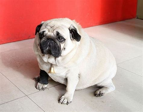 weight of a pug world s fattest pug