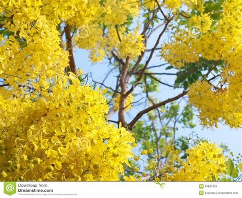 Golden Shower by Golden Shower Flowers Royalty Free Stock Images Image